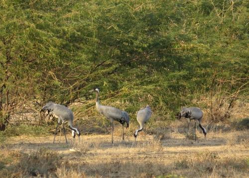 IMG_3303 Common Crane