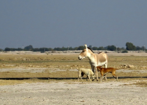 IMG_3388 Onager & dogs