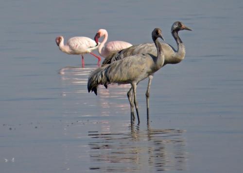 IMG_3397 cranes flamingos