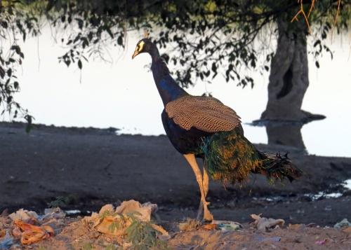 IMG_3429 Peacock on dump