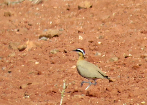 IMG_3588 Indian Courser