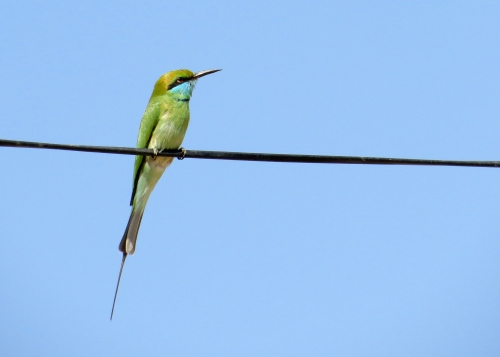 IMG_3593 Green Bee-eater