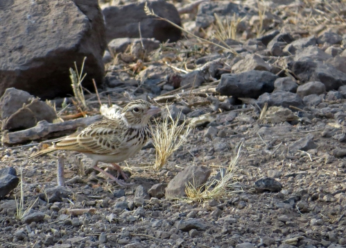 IMG_3603 Indian Bush Lark