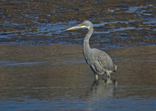 IMG_3635 Western Reef Egret