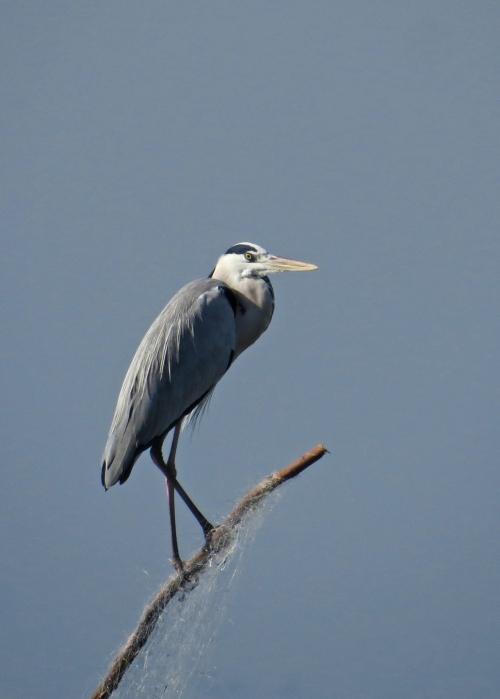 IMG_3672 Grey Heron