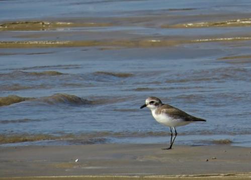 IMG_3683 Lesser Sand Plover
