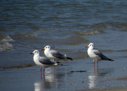 IMG_3700 Brown-headed Gulls