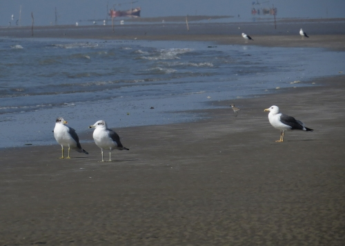 IMG_3707 Pallas' & Heuglin's Gulls