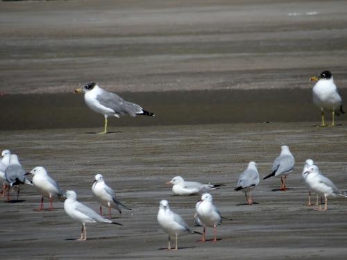 IMG_3713 Pallas' & SB Gulls