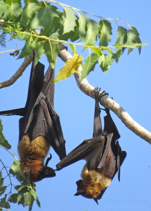 IMG_3727 Indian Fruit Bats