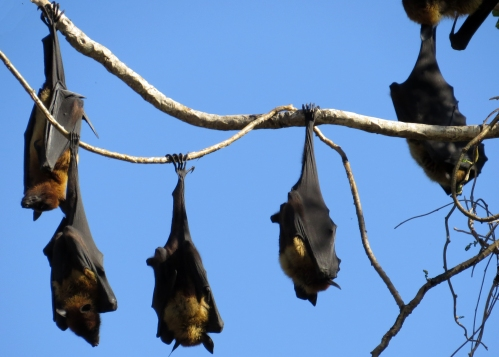 IMG_3731 Indian Fruit Bats