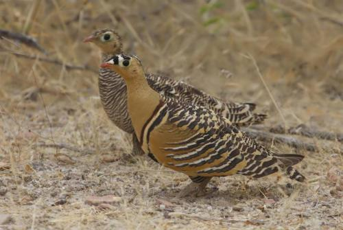 Painted Sandgrouse IBC Jugal Tiwari Gujarat.