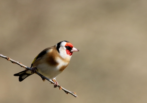 7F1A6061 Goldfinch fem