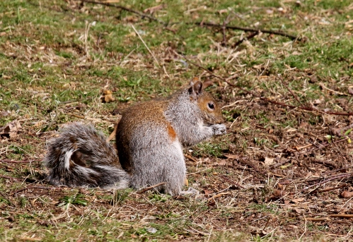 7F1A6072 Grey Squirrel