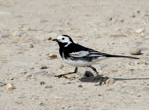 7F1A6090 Pied Wagtail