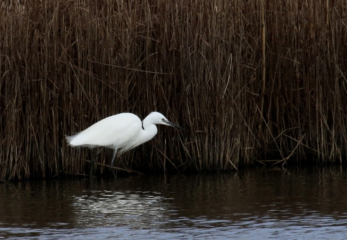 7F1A6105 Little Egret