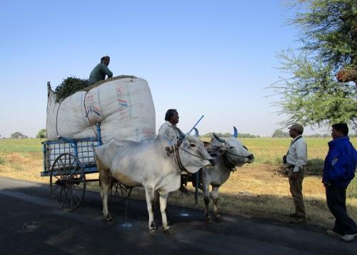 IMG_3766 bullock cart