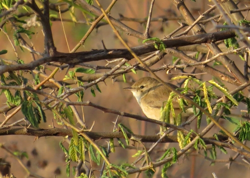 IMG_3780 Booted Warbler