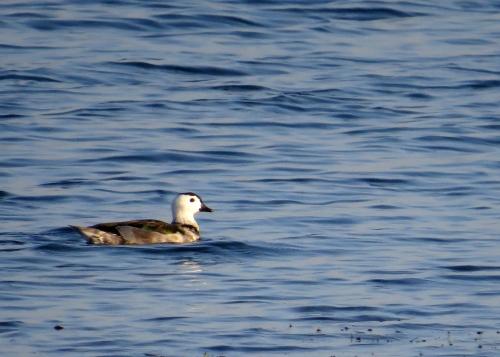 IMG_3784 Cotton Pygmy Goose