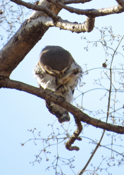 IMG_3814 Forest Owlet