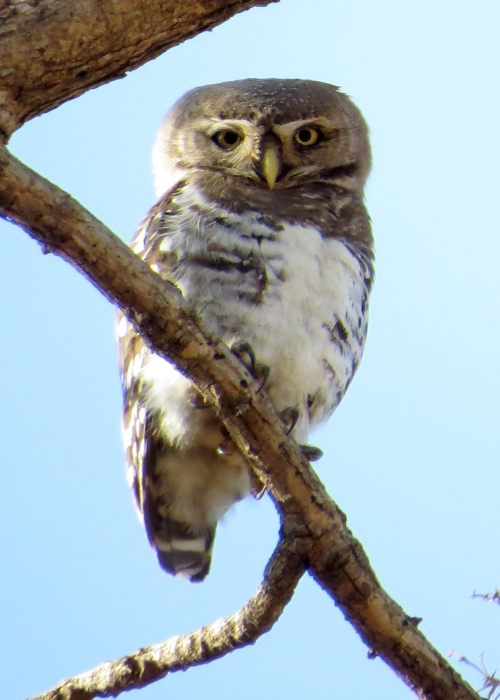 IMG_3818 Forest Owlet