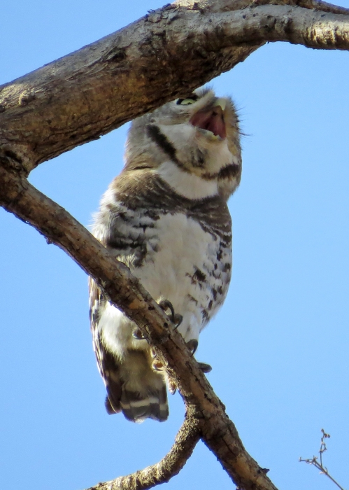IMG_3822 Forest Owlet