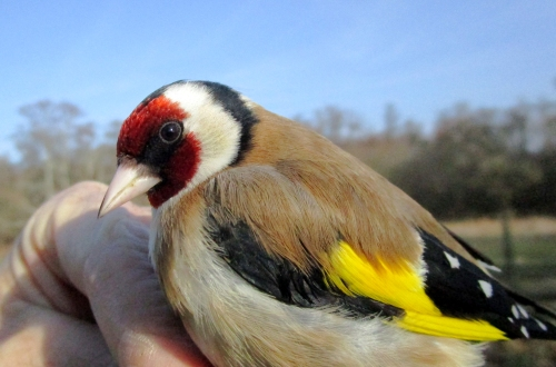 IMG_3842 Goldfinch 6m