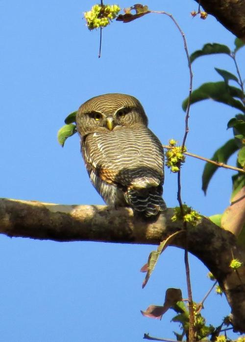 IMG_3853 Barred Owlet
