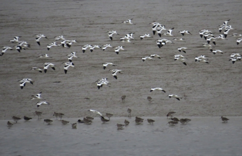 IMG_3957 Avocets and Blackwits