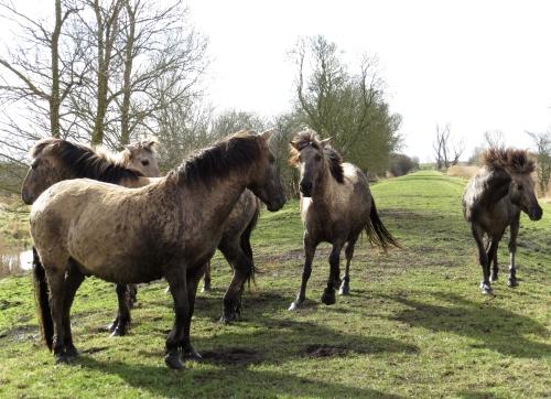 IMG_4031 Konig horses