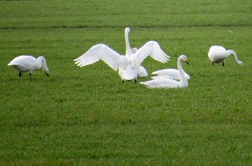 IMG_4039 Whooper Swans
