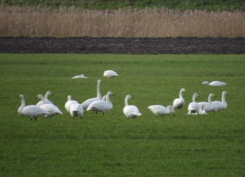 IMG_4045 Whooper Swans