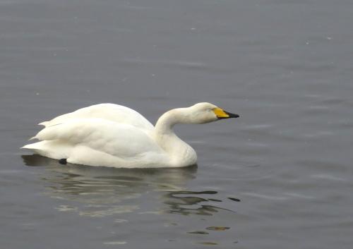 IMG_4056 Whooper Swan