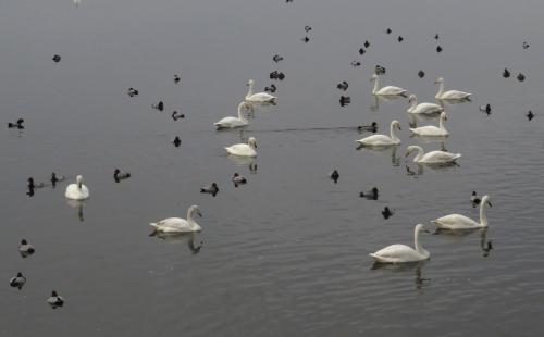 IMG_4067 Whooper Swans & Pochards