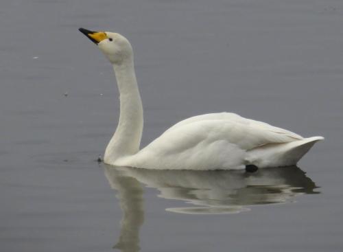 IMG_4069 Whooper Swan