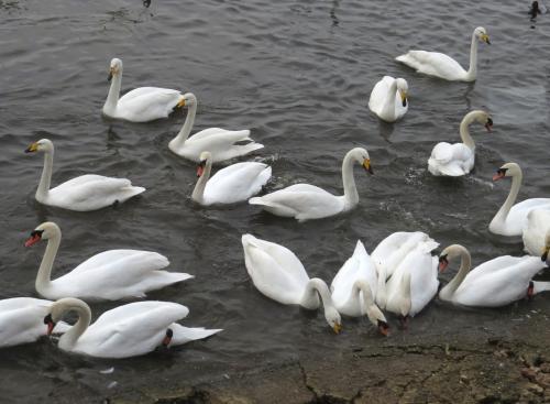 IMG_4085 Mute & Whooper Swans