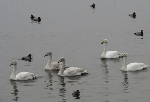 IMG_4095 Whooper Swans