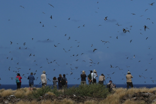 7F1A0921 Sooty Tern colony