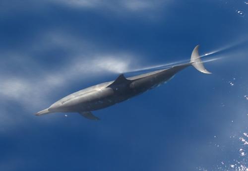 7F1A1389 Clymene Dolphin