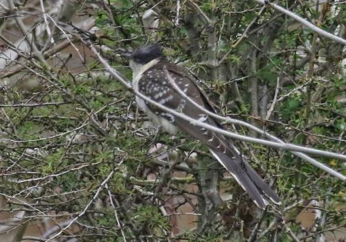 7F1A2278 GS Cuckoo
