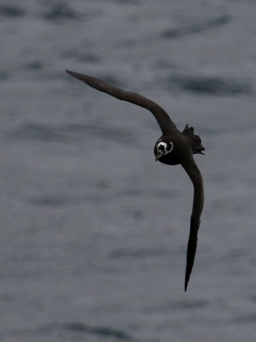 7F1A9629 Spectacled Petrel best