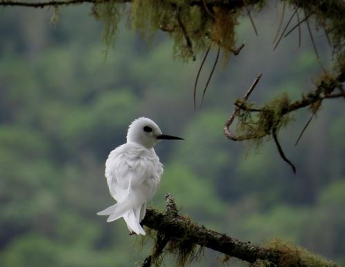 IMG_3990 White Tern
