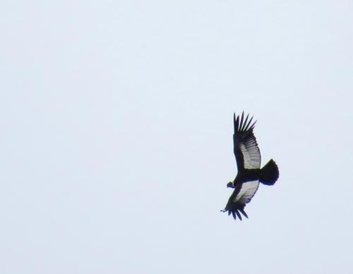 IMG_4250 Andean Condor