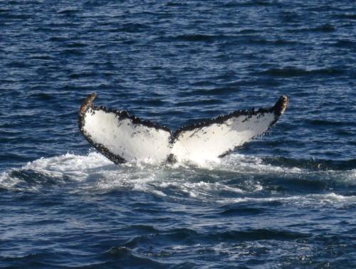 IMG_4587 Humpback Whale