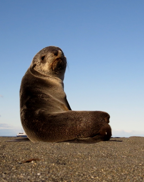 IMG_5227 Fur Seal
