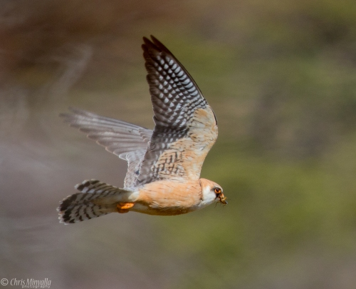 Red-footed falcon1 Chris Minvalla