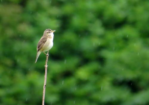 IMG_5927 BB Reed Warbler