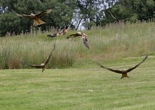 7F1A5224 Red Kites