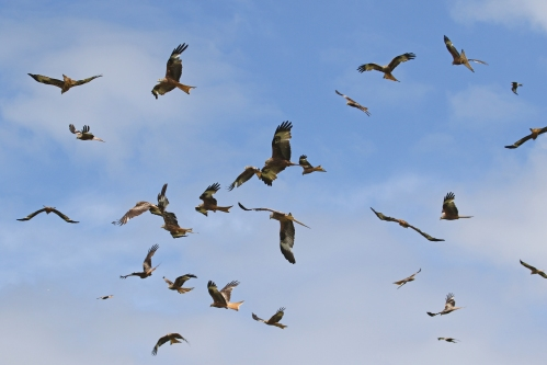 7F1A5251 Red Kites
