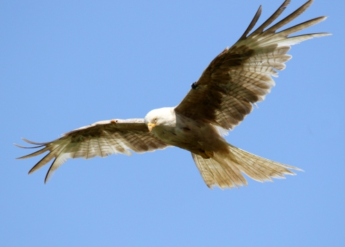 7F1A5349 leucistic Red Kite